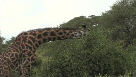 Giraffe feeding Stock Video Footage
