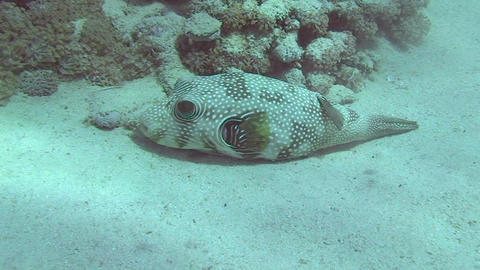 Pufferfish resting Stock Video Footage