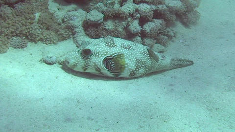 Pufferfish resting Footage