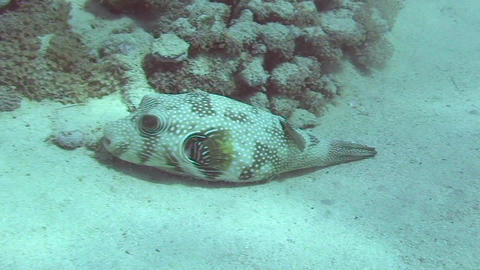 Pufferfish resting Stock Video Footage