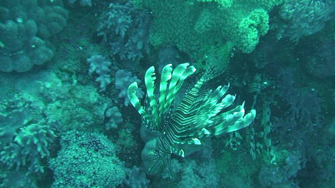 Lionfish swimming Stock Video Footage
