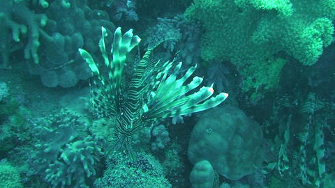 Lionfish swimming Footage
