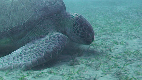 Sea turtle feeding Footage