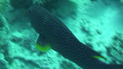 Grouper swimming Stock Video Footage