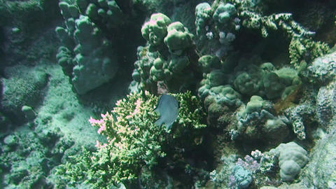Whitebelly damselfish Stock Video Footage