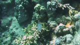 Whitebelly Damselfish stock footage