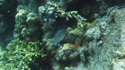Whitebelly damselfish Footage