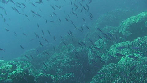 Shoal of fusiliers Stock Video Footage