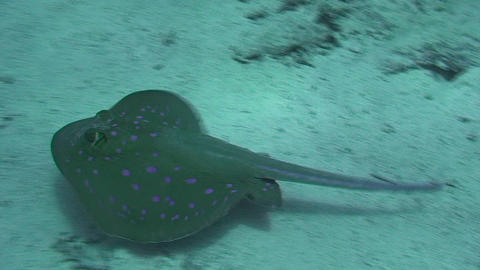 Stingray in the Red Sea Stock Video Footage