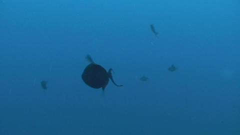 Triggerfish in Egypt Stock Video Footage