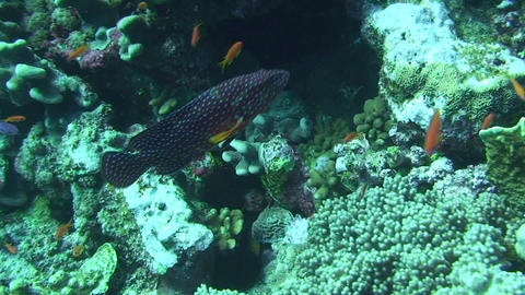 Grouper swimming Footage