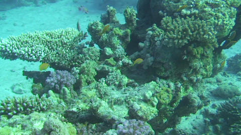 Group of anthias Stock Video Footage