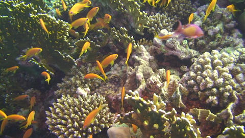 Group of anthias Footage