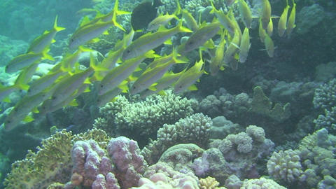 Snappers swimming Stock Video Footage