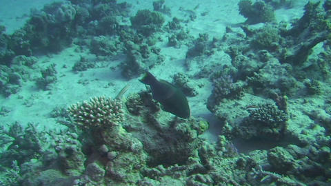 Parrotfish eating Stock Video Footage