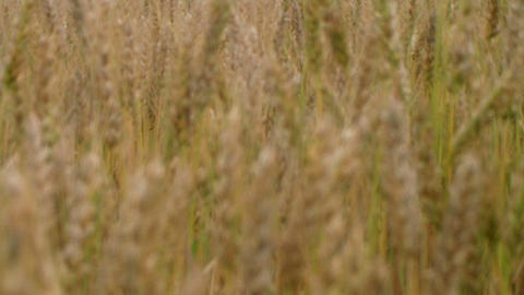 Golden Wheat Field 02 Stock Video Footage