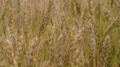 Golden Wheat Field 02 Footage