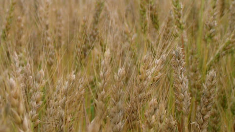 Golden Wheat Field 02 Stock Video Footage