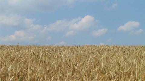 Wheat Field Against Sky 02 Footage