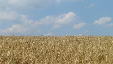 Wheat Field Against Sky 02 Stock Video Footage