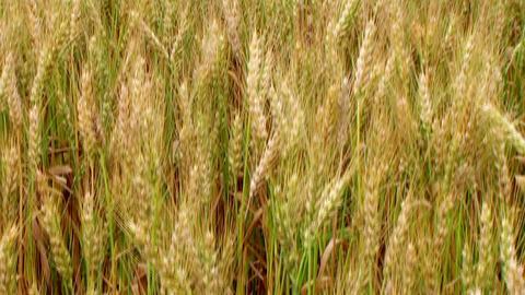 Golden Wheat Field 03 Stock Video Footage