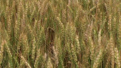 Traveling Through Wheat Field 02 Stock Video Footage