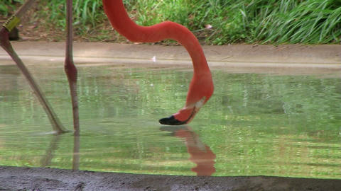 Flamingo Eating And Drinking Stock Video Footage