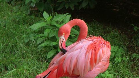 American Flamingo Grooming 02 Footage