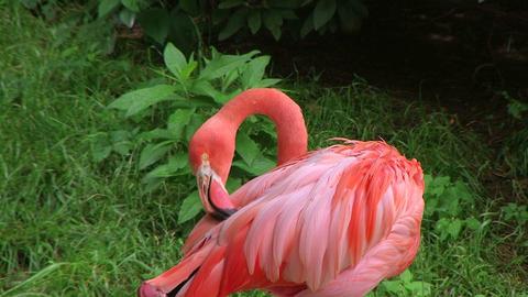 American Flamingo Grooming 02 Stock Video Footage