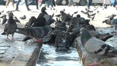 Dove birds bathing Stock Video Footage