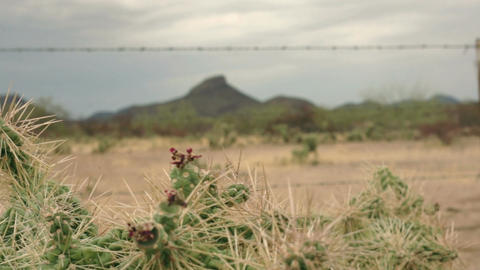 Chainfruit Jumping Cholla Cactus Dolly Footage