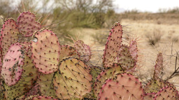 Violet Prickly Pear Cactus Dolly Footage