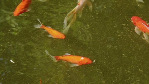 Carp fish of different color in the pond Footage