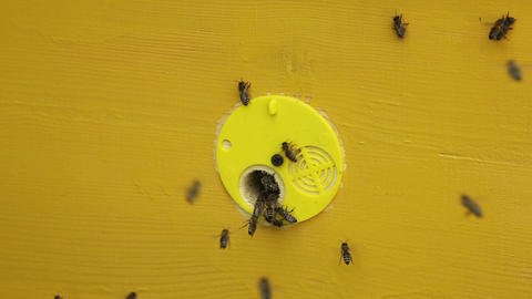 Yellow beehive with flying and crawling bees Footage