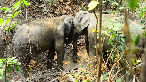Elephant Love stock footage