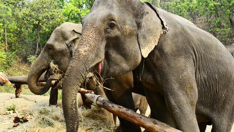 Feeding the Elephants Footage