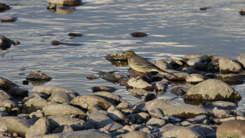 Yellow Wagtail Live Action