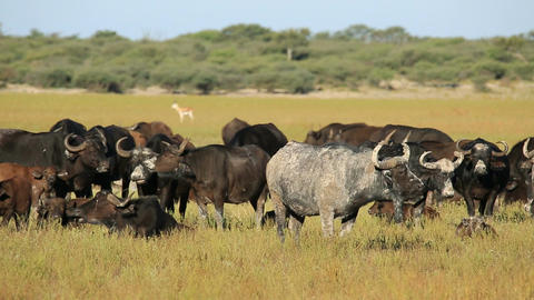 African buffaloes resting Footage
