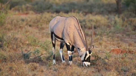 Gemsbok antelope grazing Footage