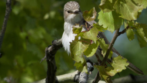 Gray flycatcher Live Action