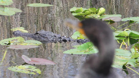 Alligator And Bird stock footage