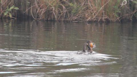 Bird Swallowing Fish Footage
