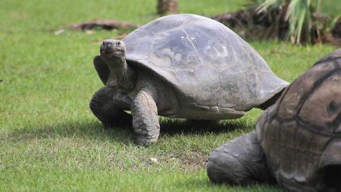 Tortoise Walking 2 Footage