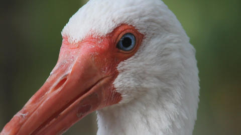 White Ibis stock footage