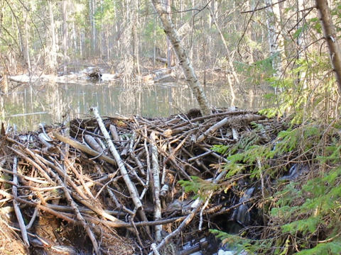 Beaver dam in the forest. 640x480 Footage