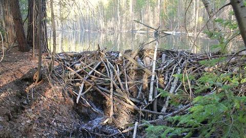 Beavers flooded the creek Footage