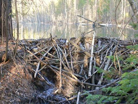 Beavers flooded the creek. 640x480 Footage