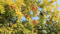Pomegranates On Tree stock footage