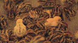 Quail chicks in battery farm 03 Footage