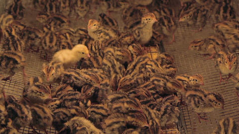 Quail Chicks In Battery Farm 02 stock footage